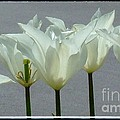 White Early Dawn Tulips Black Border by Joan-Violet Stretch