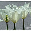 White Early Dawn Tulips White Bordered by Joan-Violet Stretch