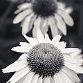 White Echinacea Flower Or Coneflower by Adam Romanowicz