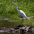 White Egret And Snapping Turtles by J L Woody Wooden