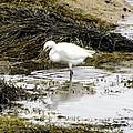 White Egret by Elizabeth Dow