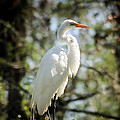 Great Egret by George Kenhan