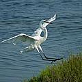 White Egret Landing 2 by Ernie Echols