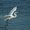 White Egret Landing by Ernie Echols