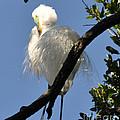 White Egret by Lydia Holly