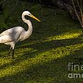 White Egret by Marvin Spates