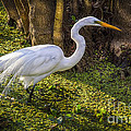 White Egret On The Hunt by Marvin Spates