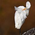 White Egret Preening by Jack Nevitt