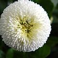 White English Daisy by Nicki Bennett