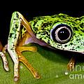 White-eyed Leaf Frog by Dante Fenolio