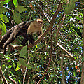 White-faced Capuchin Monkey In Manuel Antonio National Preserve-costa Rica by Ruth Hager