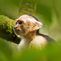 White Faced Capuchin Monkey Portrait by Natural Focal Point Photography