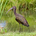 White-faced Ibis 2 by Bob and Jan Shriner