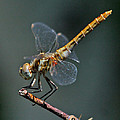White-faced Meadowhawk by David Salter