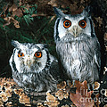White Faced Scops Owl by Hans Reinhard