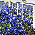 White Fence - Blue Bonnets by David and Carol Kelly