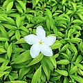 White Flower On Green by Girish J