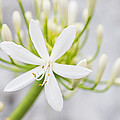 White Flower by Paulo Goncalves