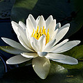 White Water Lily by Christina Rollo