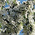 White Flowering Crabapple Tree by Rose Santuci-Sofranko