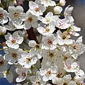 White Flowering Tree Flowers by P S