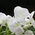 White Flowers 3 by Carol Lynch