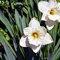 White Flowers by Brent Dolliver