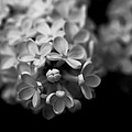 White Flowers In Black And White by Ramon Martinez