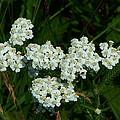 White Flowers In Green Field by Geoffrey McLean
