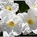 White Flowers In The Desert by Carol Groenen