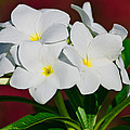 White Frangipani by Gene Norris