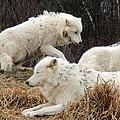White Furs by Munir Alawi