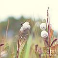 White Garden Snail by Yew Kwang