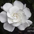 White Gardenia by Michael Waters