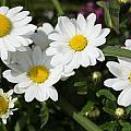 White Gerbera Daisy by P Madia