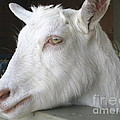 White Goat by Ann Horn