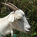 White Goat On A Farm by Robert Hamm