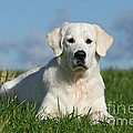 White Golden Retriever Dog Lying In Grass by Dog Photos