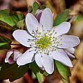 White Hepatica 2 by Becky Anders