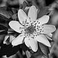 White Hepatica by Becky Anders