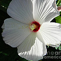 White Hibiscus by Andrea Anderegg