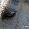 White Horse by Dan Hartford