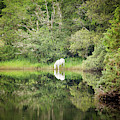 White Horse Drinking Water by Peter McCabe