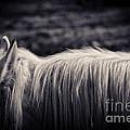 White Horse Mane by Silvia Ganora