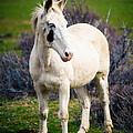 White Horse by Steve G Bisig