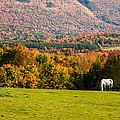 White Horses Grazing With View Of Green Mtns by Jeff Folger