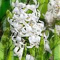 White Hyacinth Flowers Digital Art by Valerie Garner