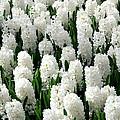 White Hyacinths by Glenn Aker