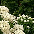 White Hydrangeas by Laurie Eve Loftin