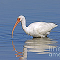 White Ibis by Anthony Mercieca